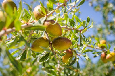 Fresh fruits of Argan on the branch